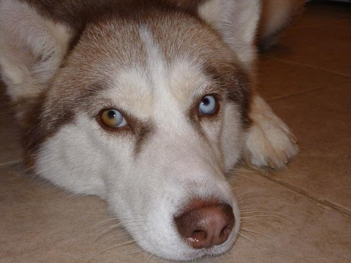 Sophie, my eight-year-old Siberian husky.