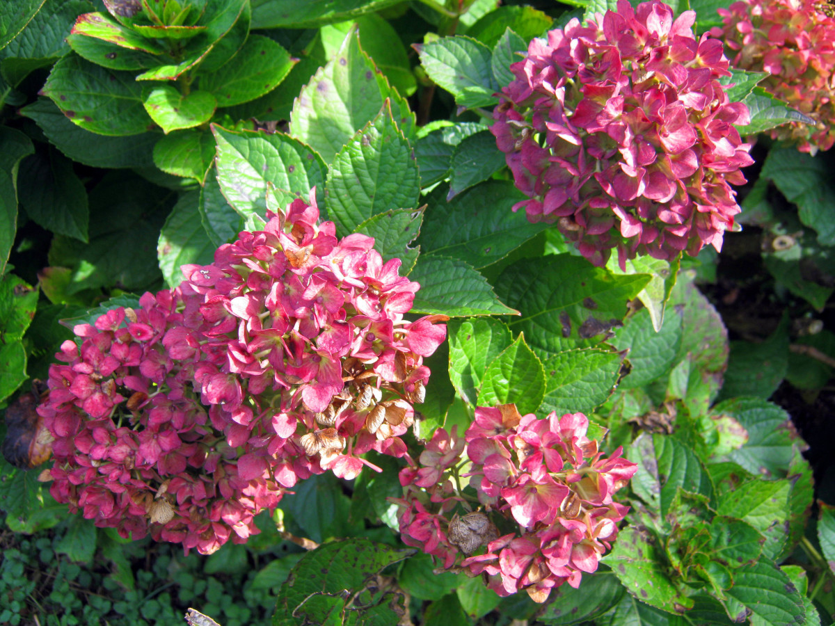 Plant Hydrangeas for Large, Long Lasting Blooms