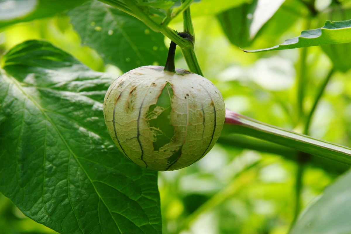 When a tomatillo is ripe, the firm fruit will split the straw-colored husk.