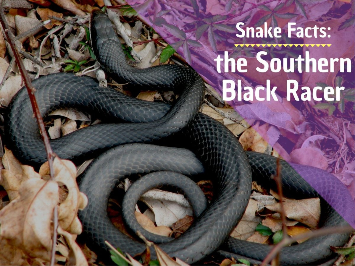 Southern black racer. It is not uncommon to find these black racer snakes in Florida in suburban yards. They are less fearful of people than many other snakes, and can become aggressive or even charge at people if they feel threatened.
