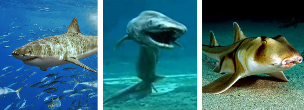 Some kinds of shark.