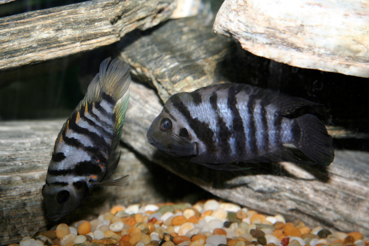 Convict Cichlid Breeding Setup and Requirements