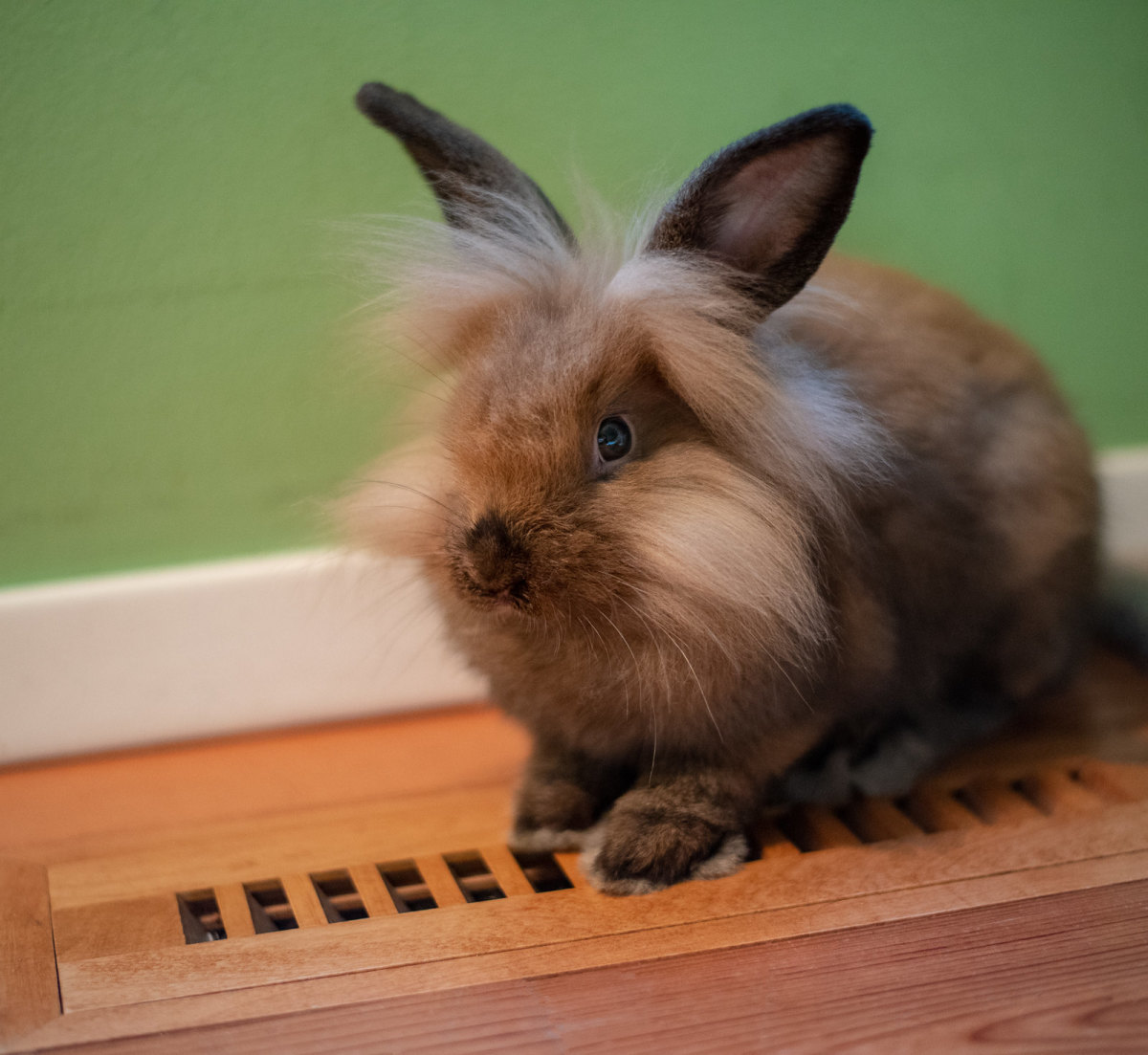 Rabbit Breed Profile: Lionheads