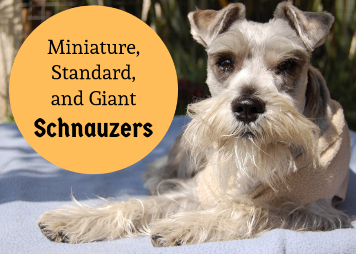 Discover some of the similarities and differences between the three varieties of schnauzers.