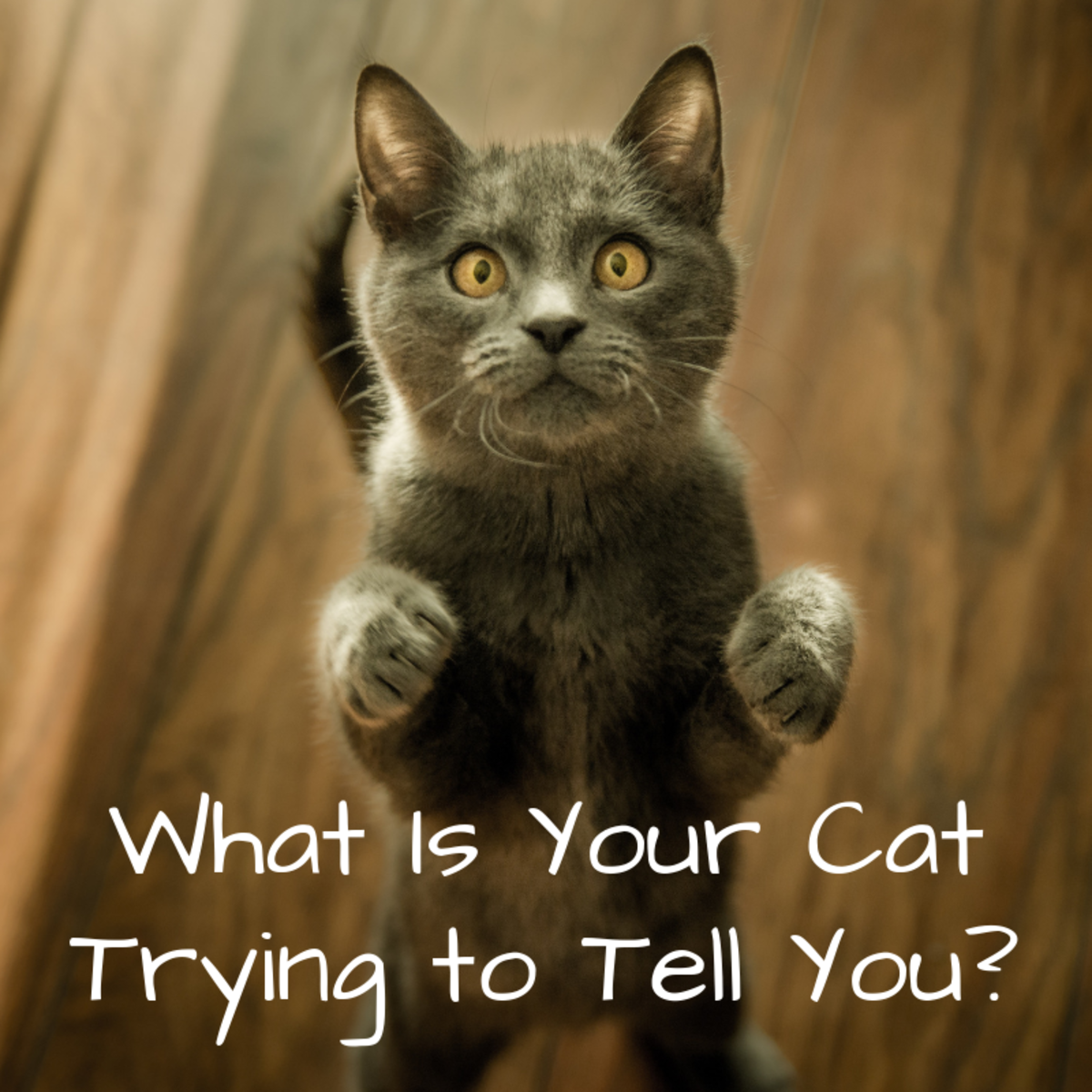 If you've ever wondered what your cat might be trying to communicate to you with their behaviors, body language, and sounds, then this article will help you find some answers.