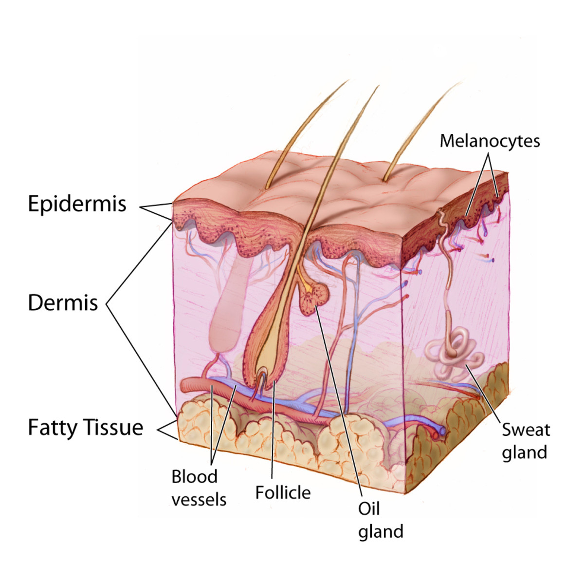 Anatomy of the skin, showing dermis and epidermis