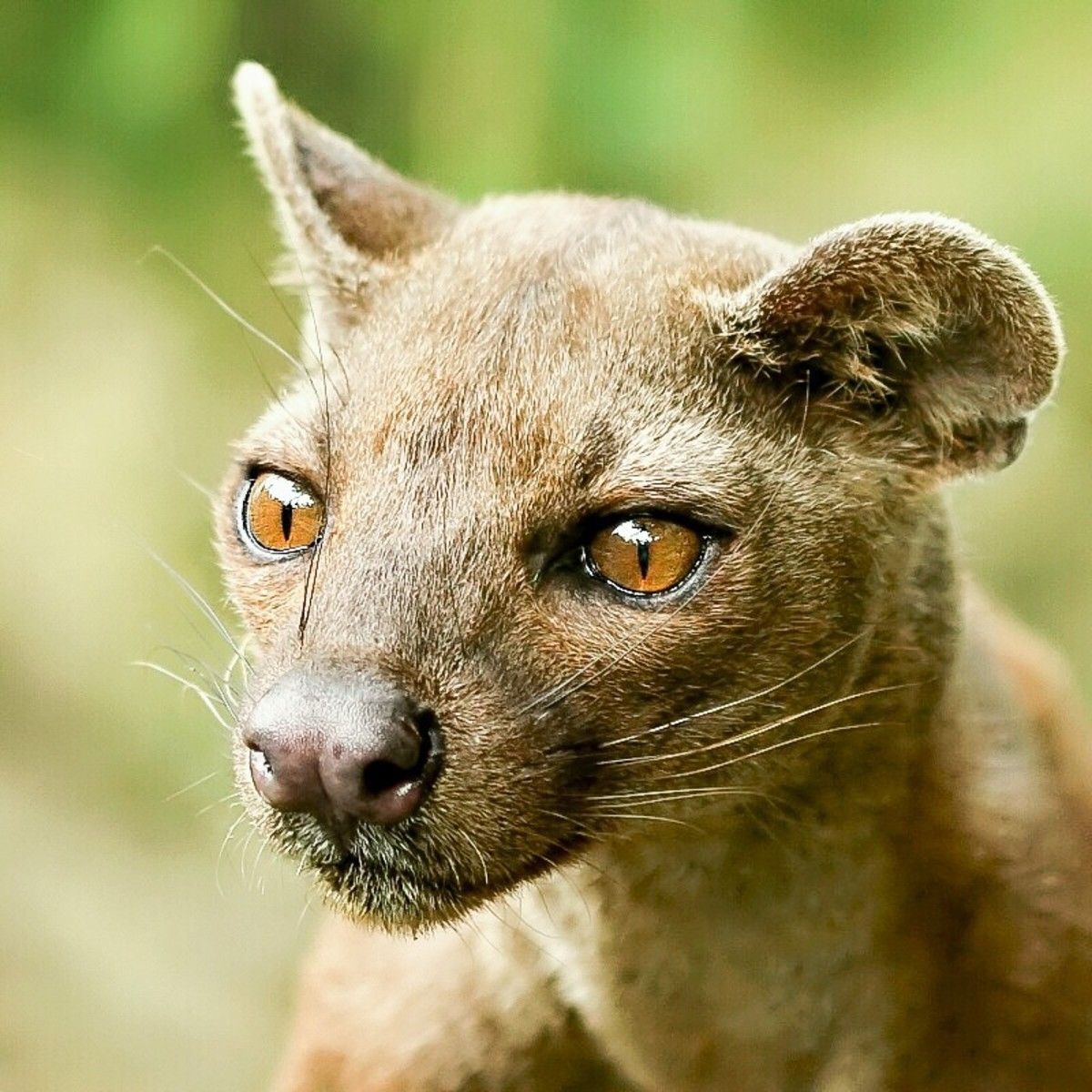 The face of a fossa