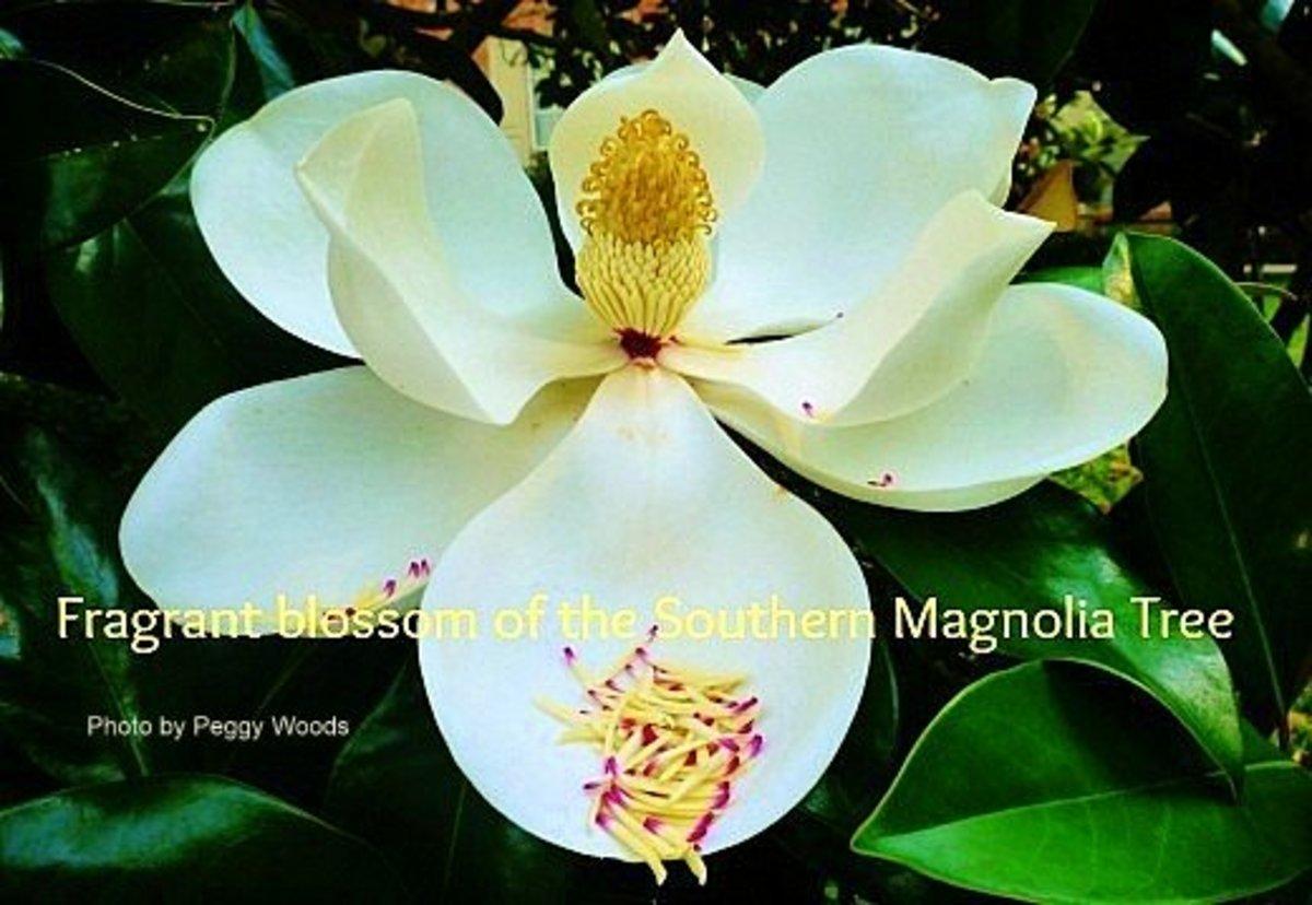 Milky white Magnolia blossom
