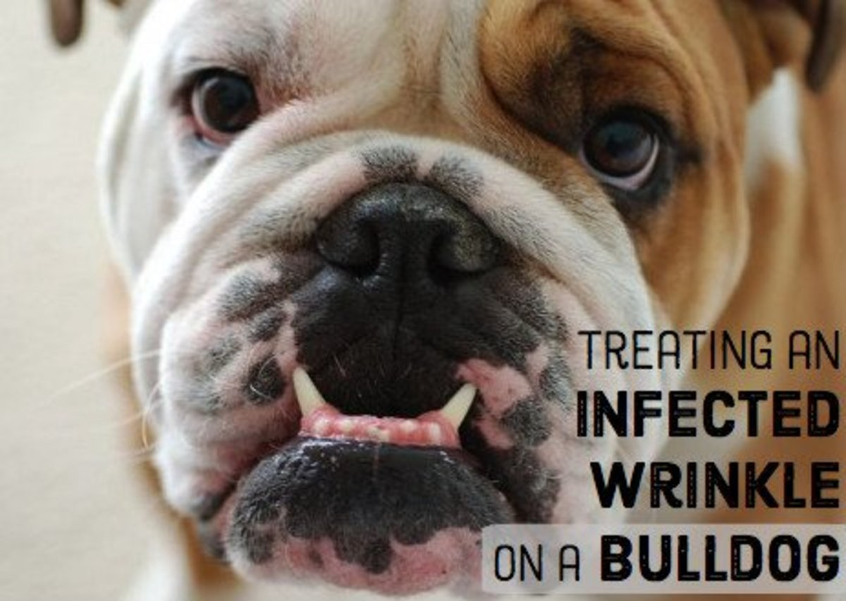 At the first sign of redness, soreness, or bad smell, give your bulldog a bath, dry them well, and apply antibiotic ointment to the infected area.
