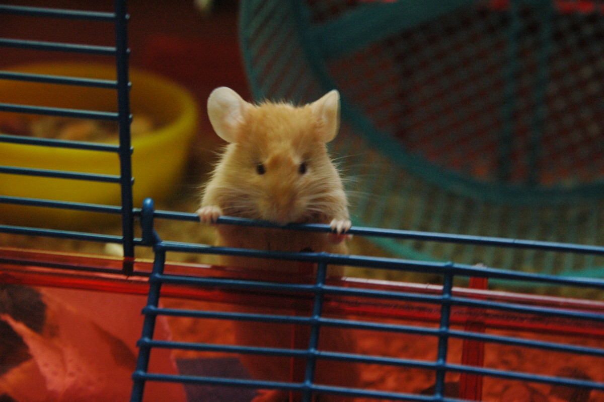 How to reduce the stink of your pet mouse