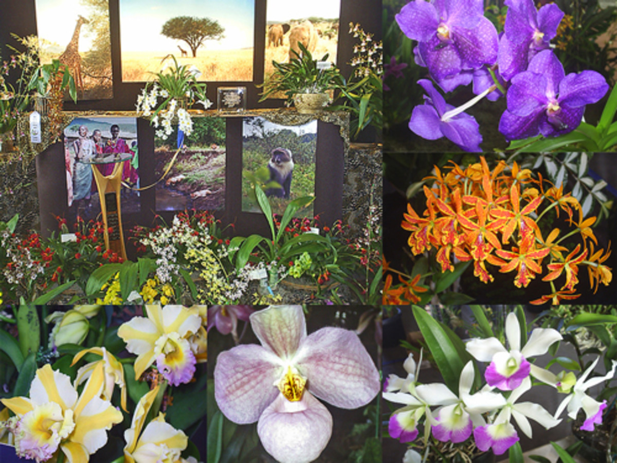 Hawaii: The Annual Orchid Show in Hilo on the Big Island
