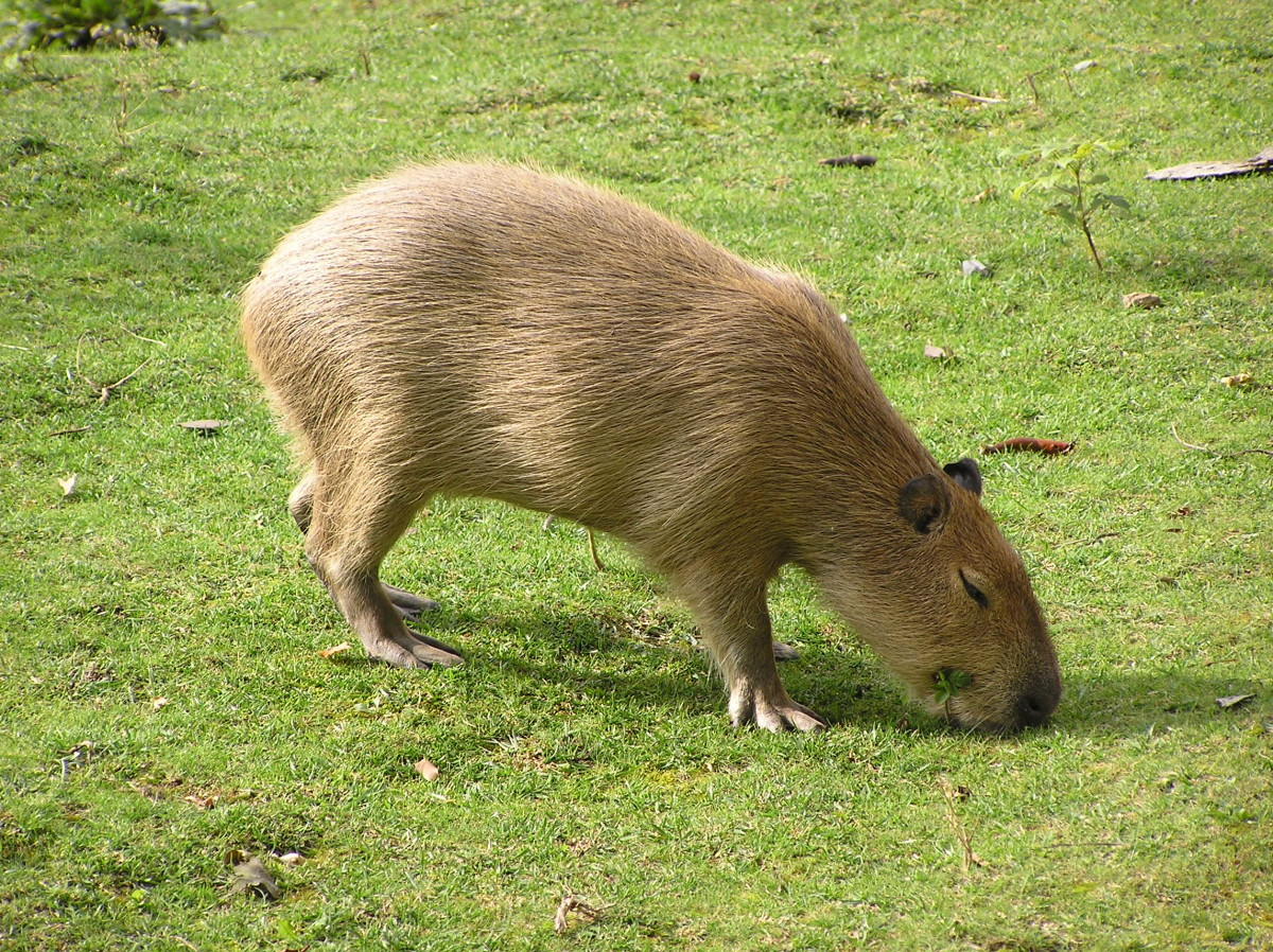 A capybara in the Prague Zoo
