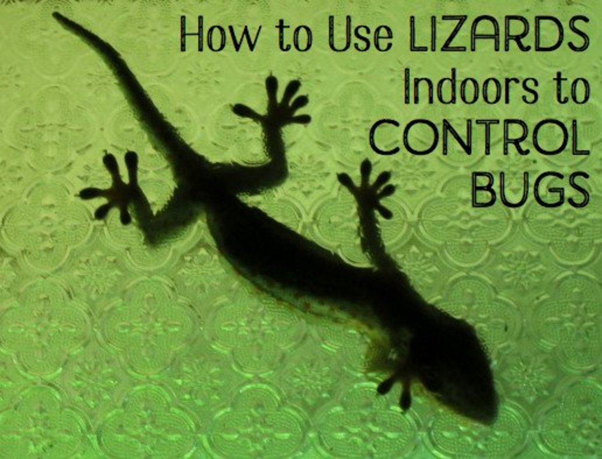 A gecko like this one will eat small insects inside and then head back out through an open window when it cools off.