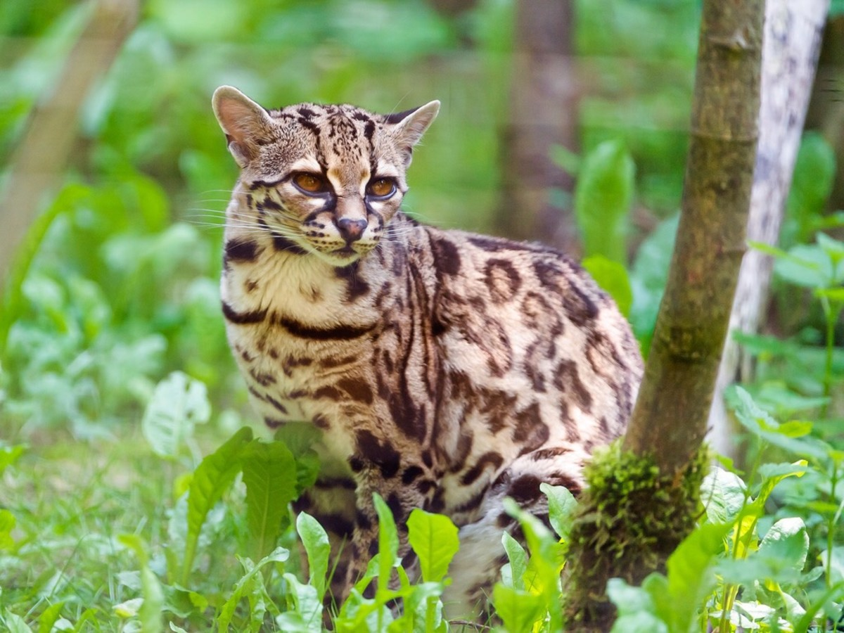 A beautiful margay