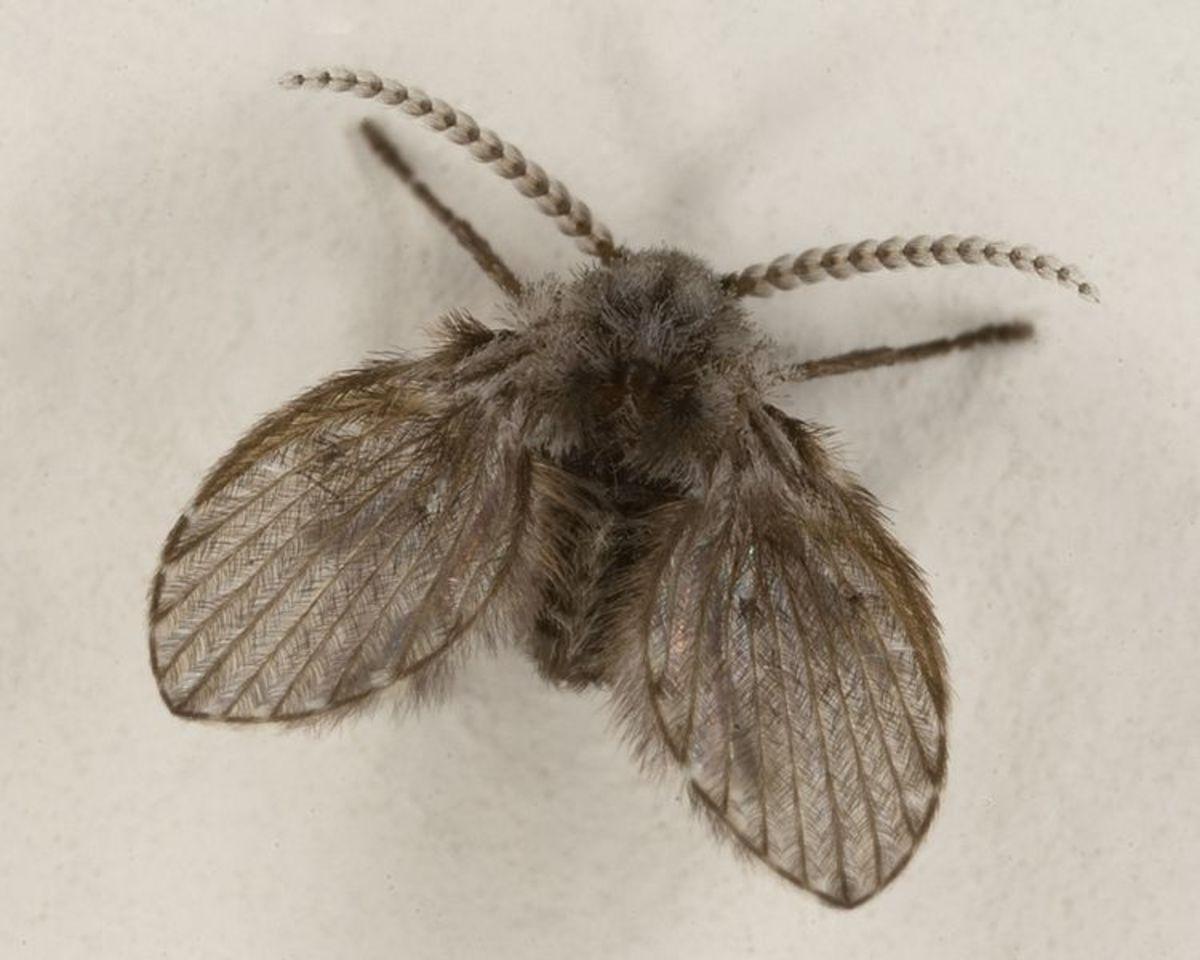 Drain Flies/Moths - Signs of Household Plumbing Leaks