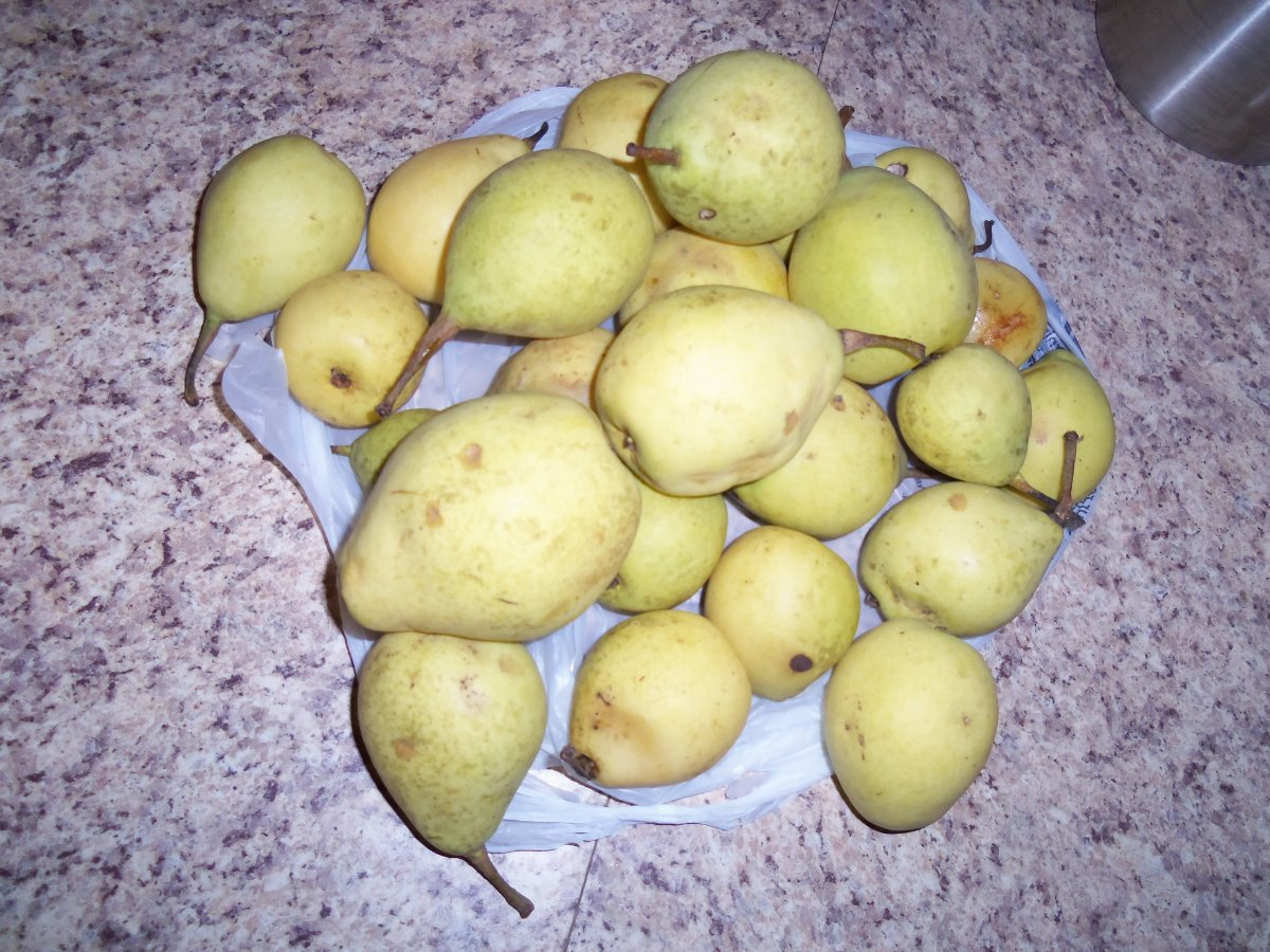 Pears picked from the ground around the tree.
