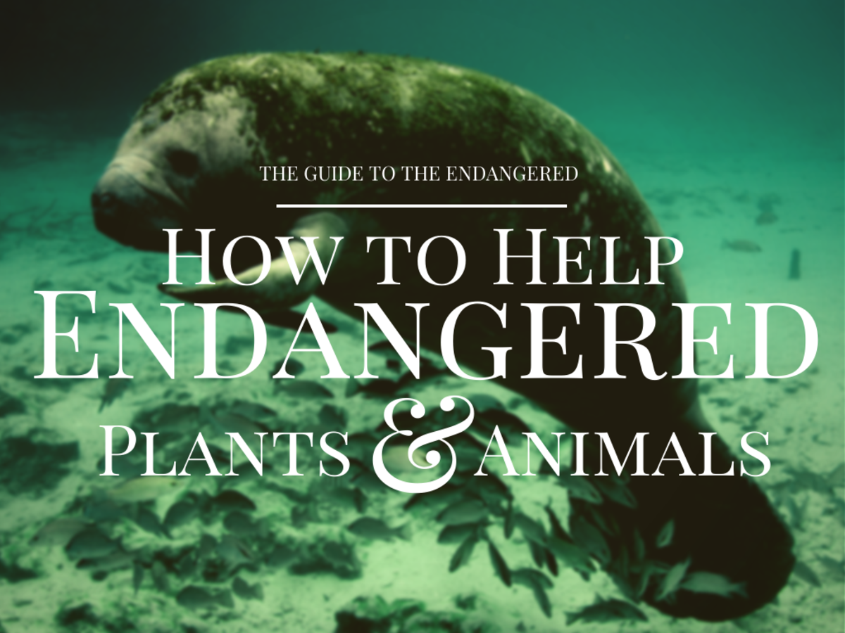 Manatees share the same fate as green sea turtles.