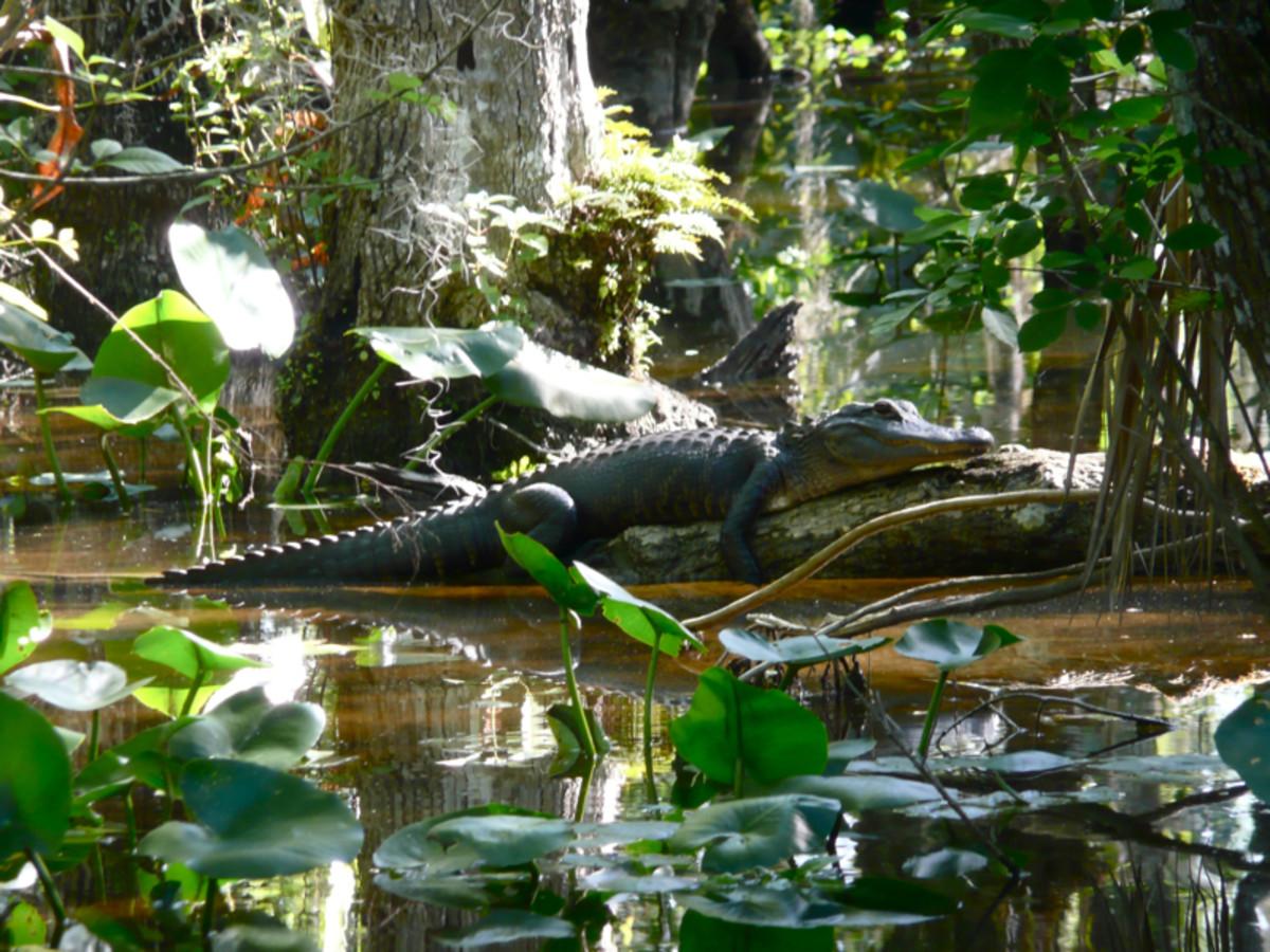 American Alligator at Everglades National Park in Florida