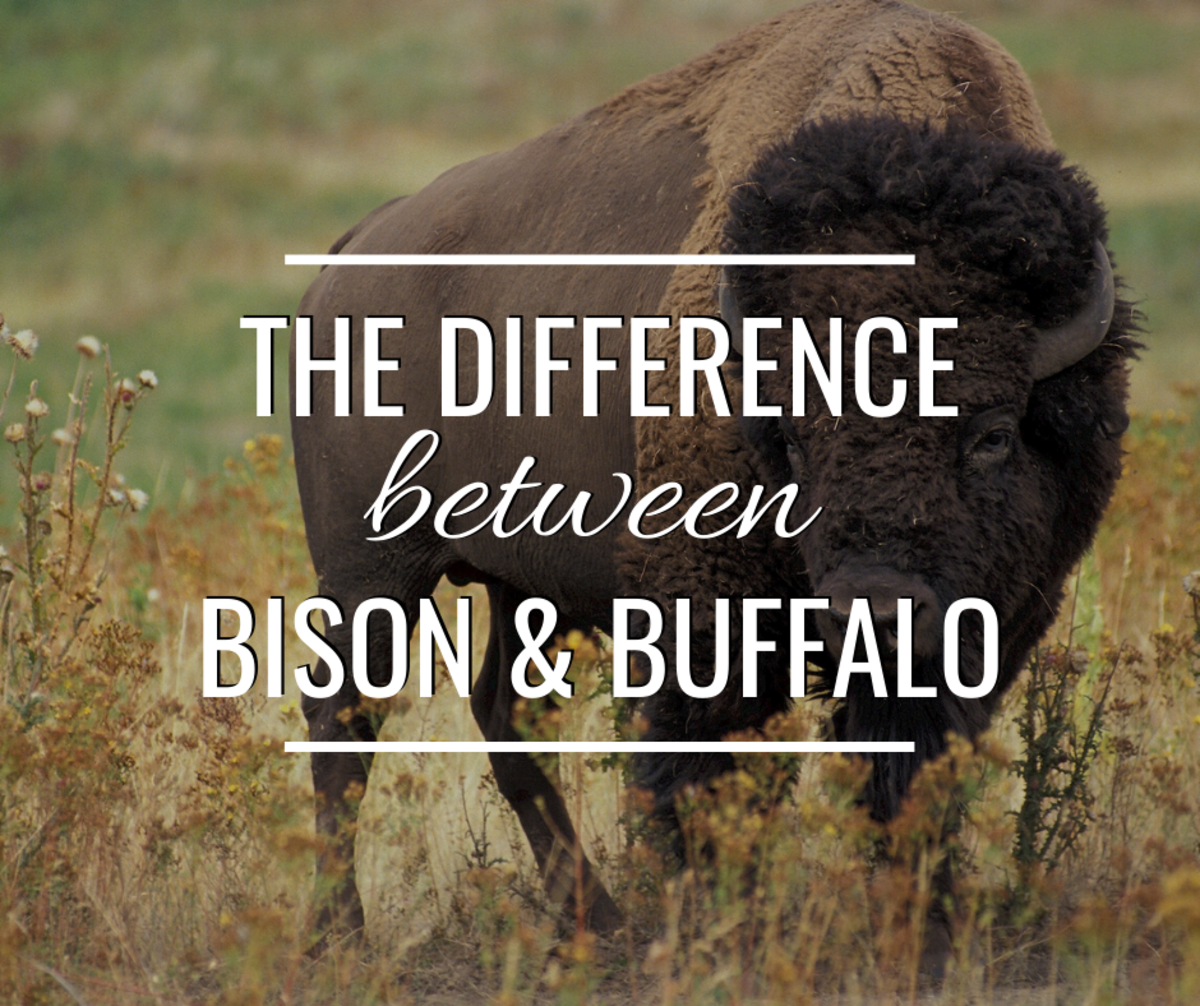 Bison vs. Buffalo—What's the Difference?