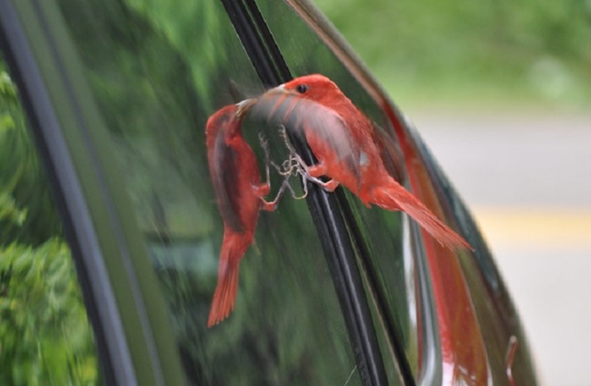 A bird fights its own reflection in a car window.