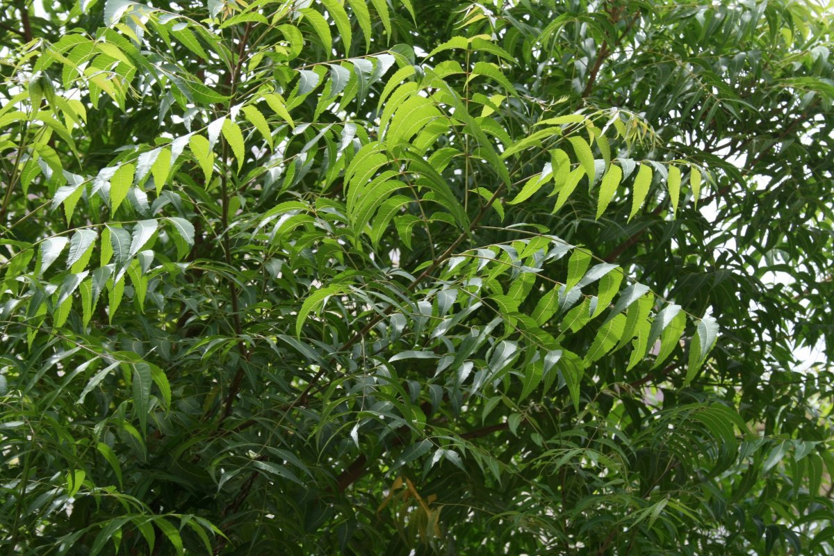 Neem leaves can be used as a natural pesticide.