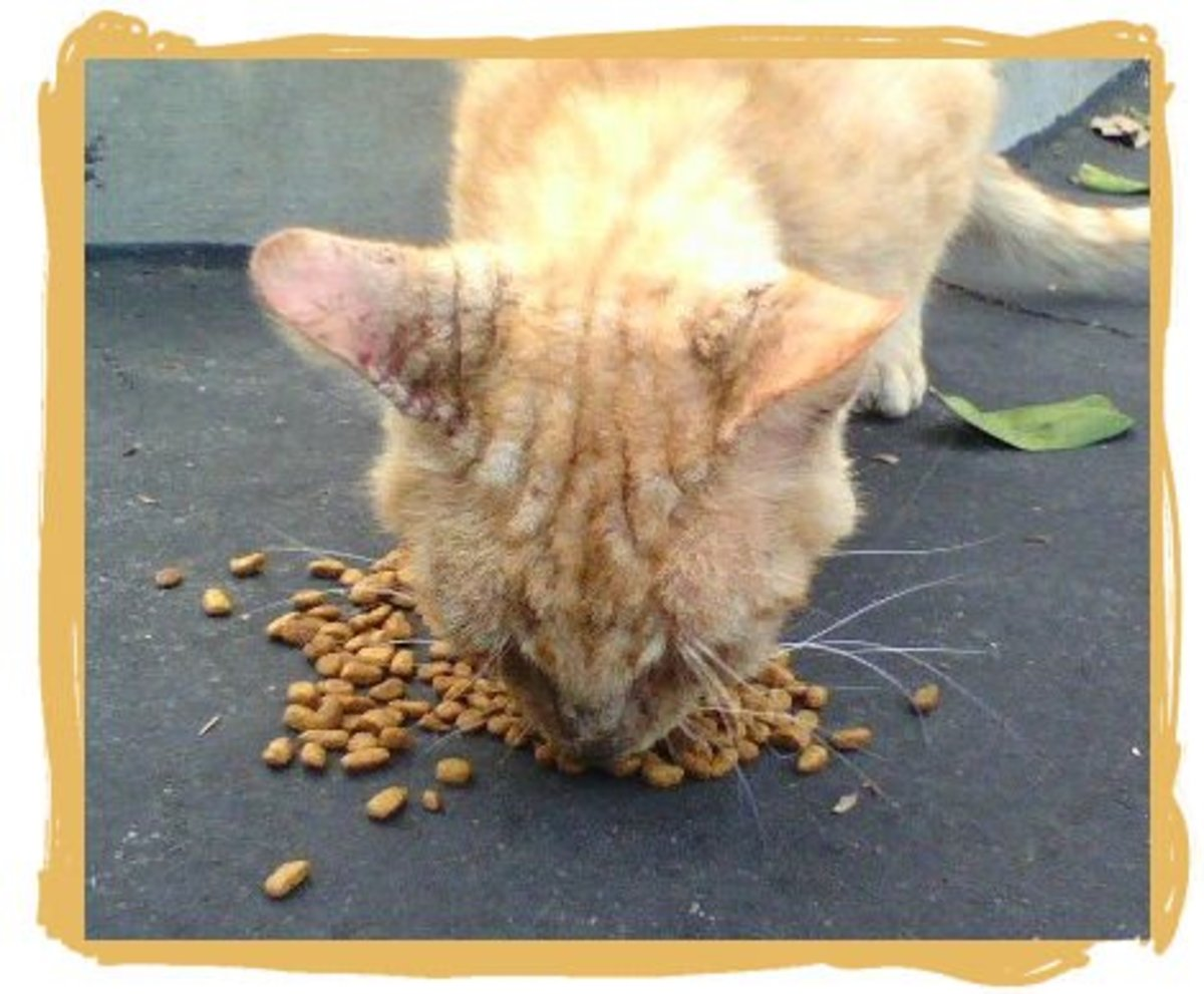 This is Tommy, an orange Tabby cat. We found him in a parking lot in really bad condition.