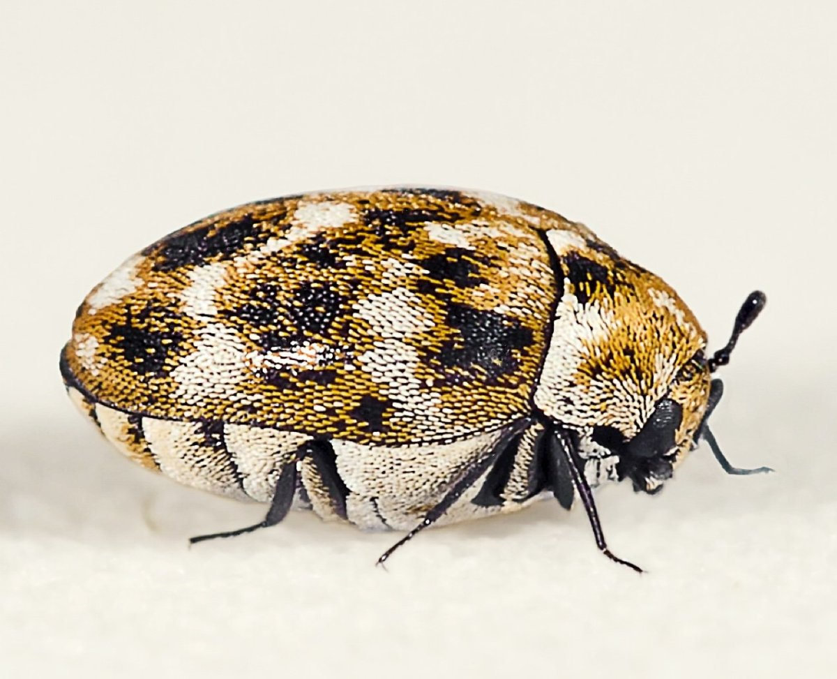 This is an adult varied carpet beetle. The larvae destroy carpets.