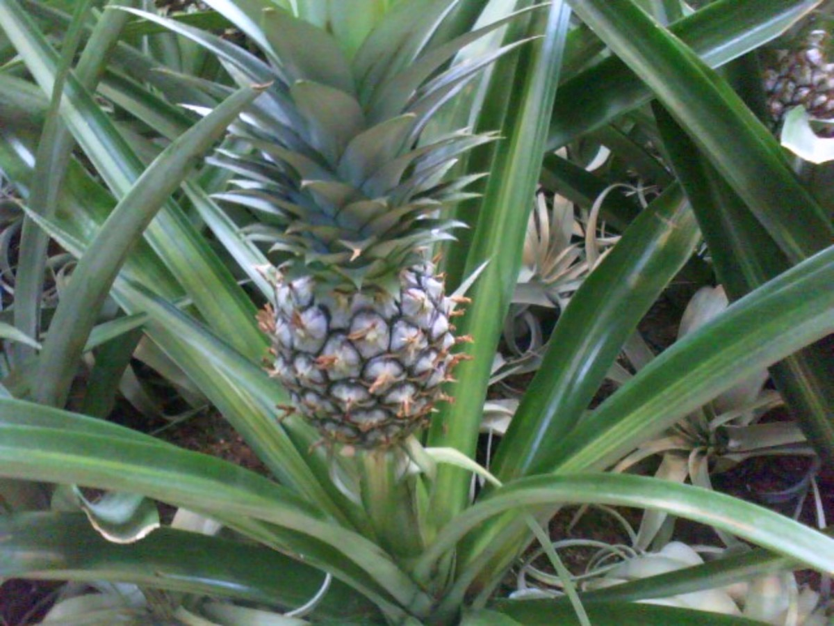 How to Plant a Pineapple