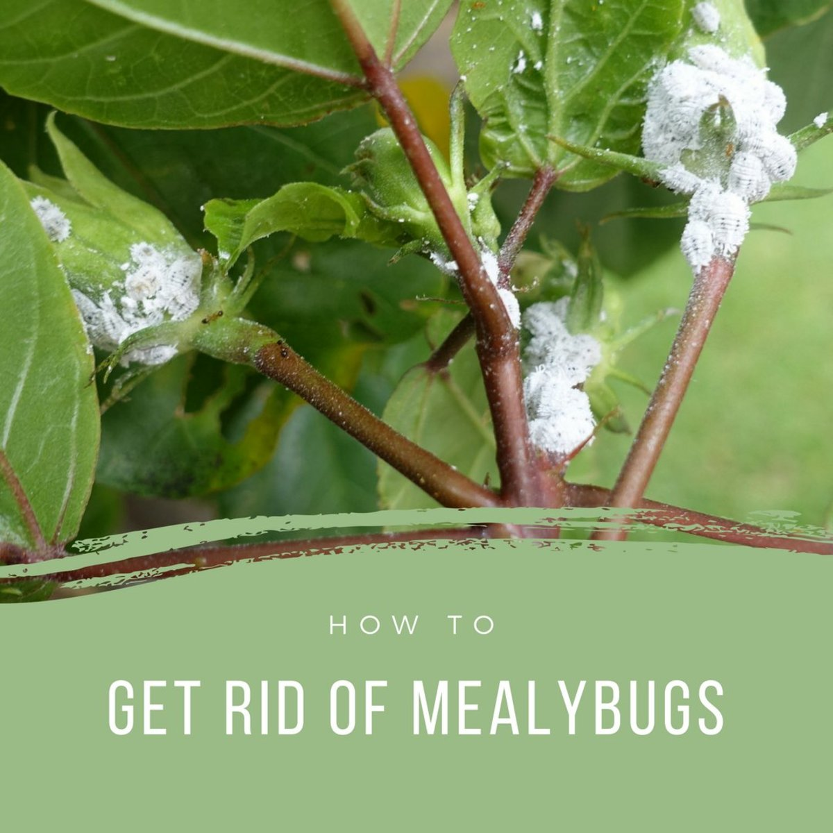 Is White Lint on a Houseplant a Sign of Mealybugs?