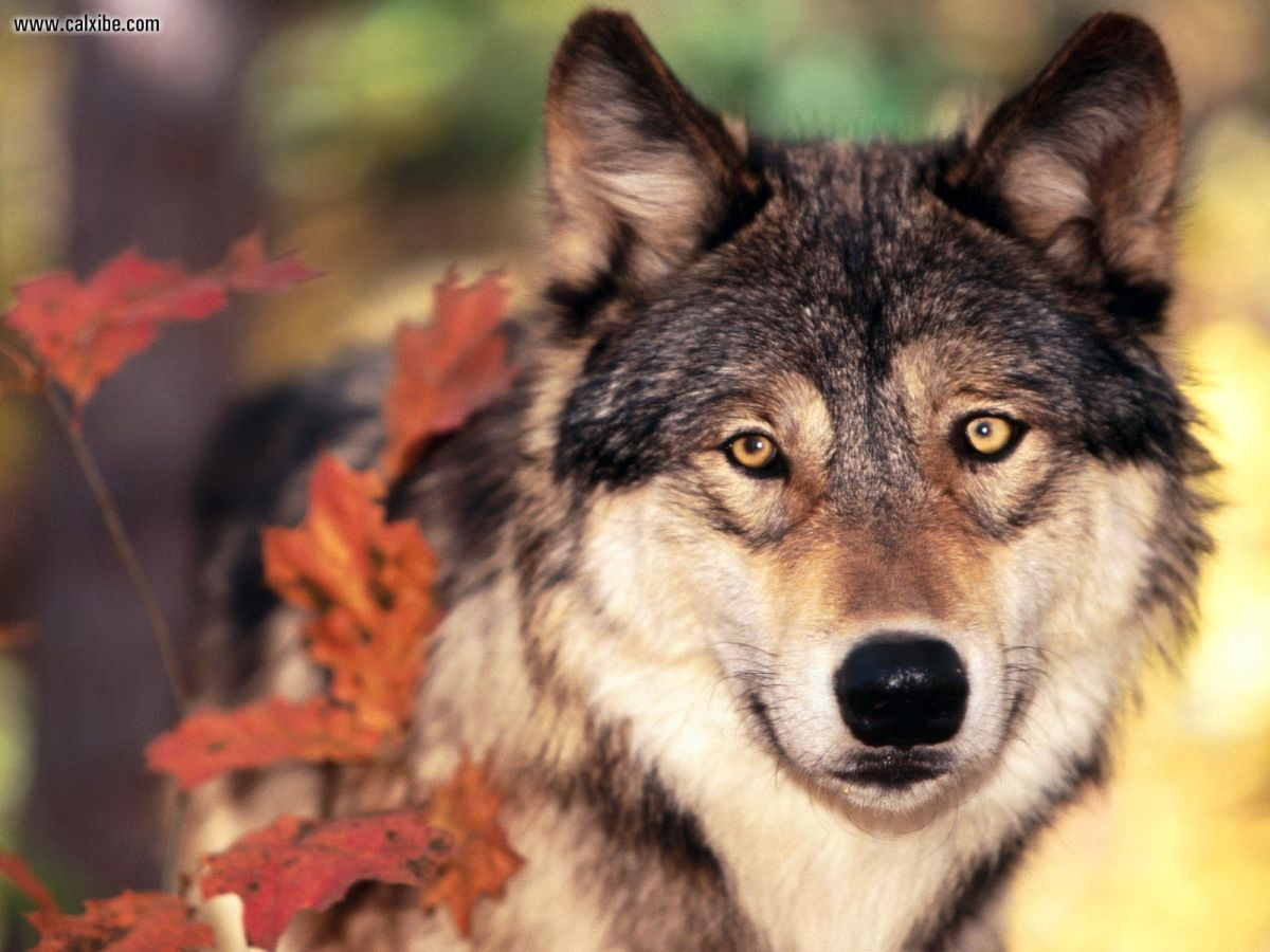 Animal Spirit Guide Meaning and Interpretation: The Wolf