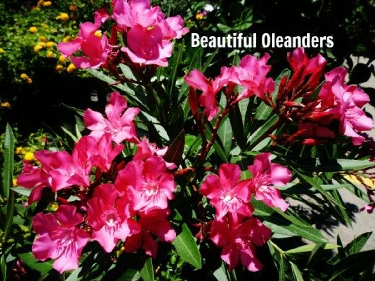 Oleander Hardy Evergreen Southern Beauty With Pictures