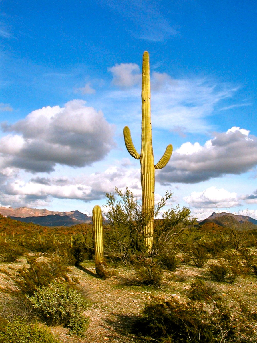 The stately saguaros proudly preside over the desert landscape.