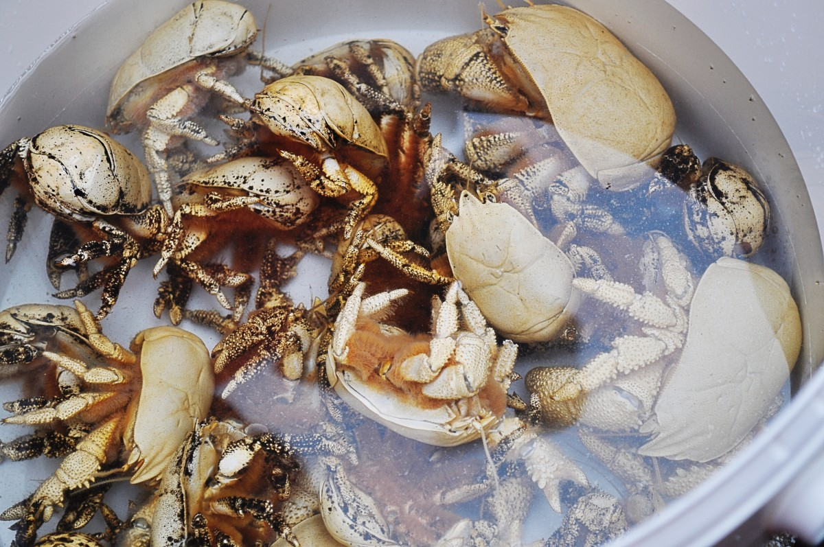 A bucket of Hoff crabs; the hairs on the underside can be seen in one specimen