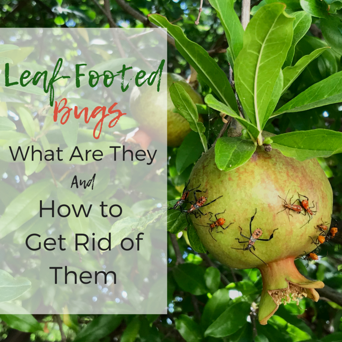 What Are Leaf-Footed Bugs and Are They Harmful?