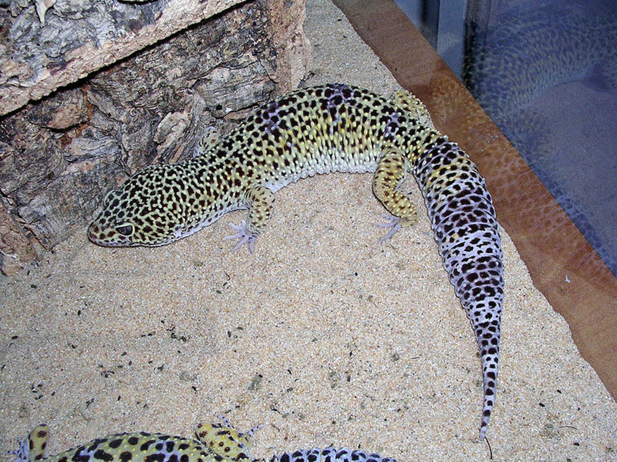 The Differences Between African Fat Tails and Leopard Geckos