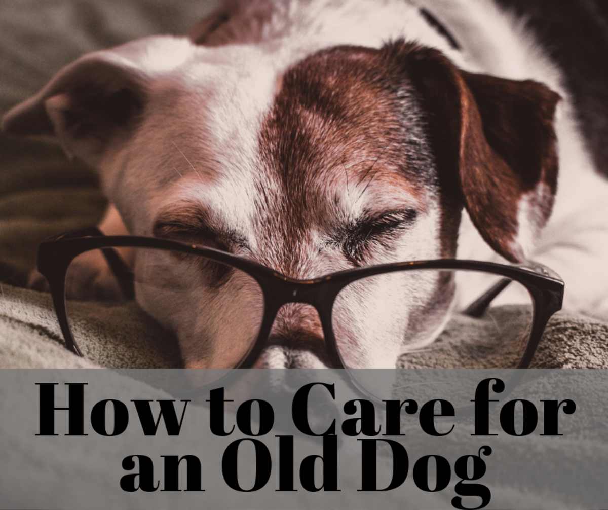 Learn useful tricks for how to take care of your aging dog.