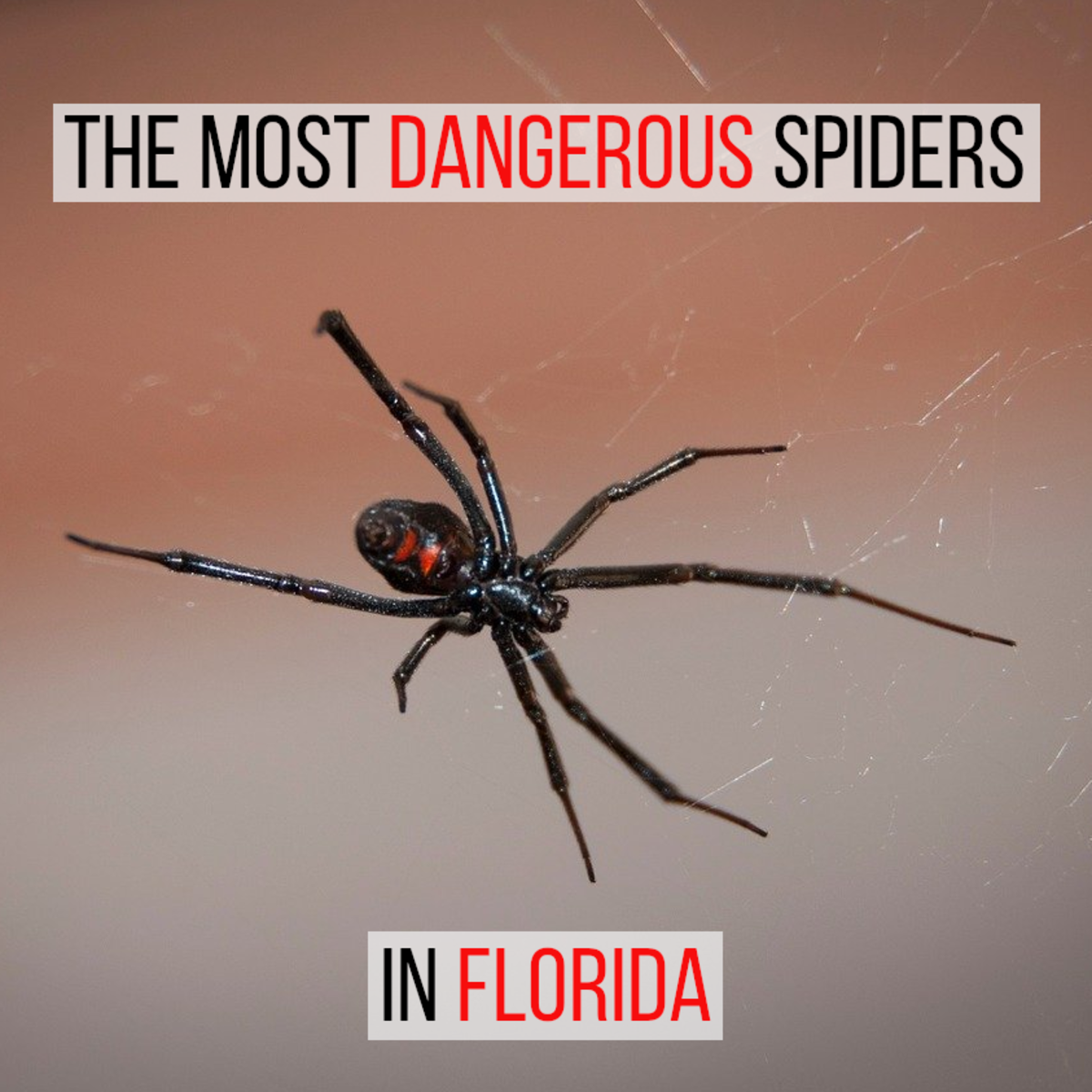 There are two spiders that are potentially harmful if you live in or visit Florida, this article looks at them in detail.