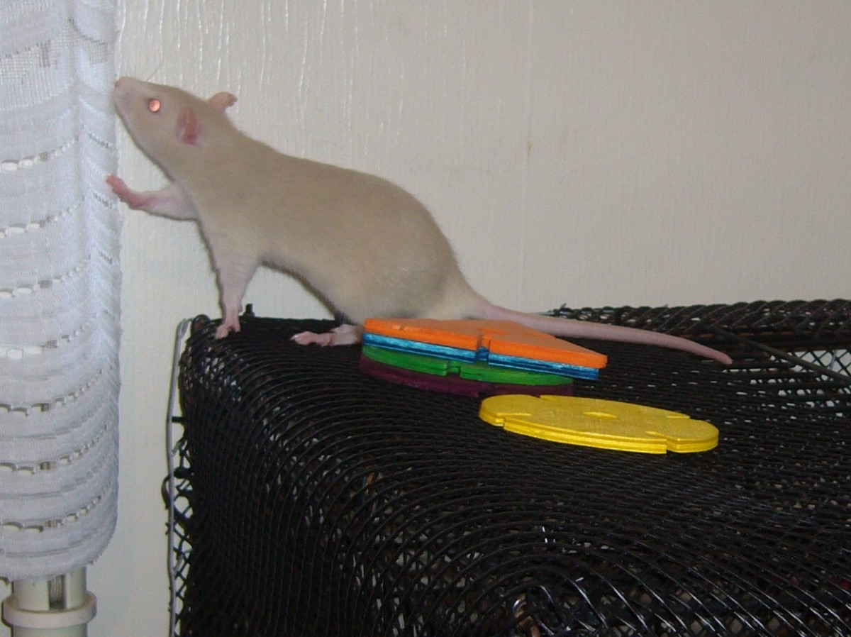 How Do I Make My Pet Rat Like Me?