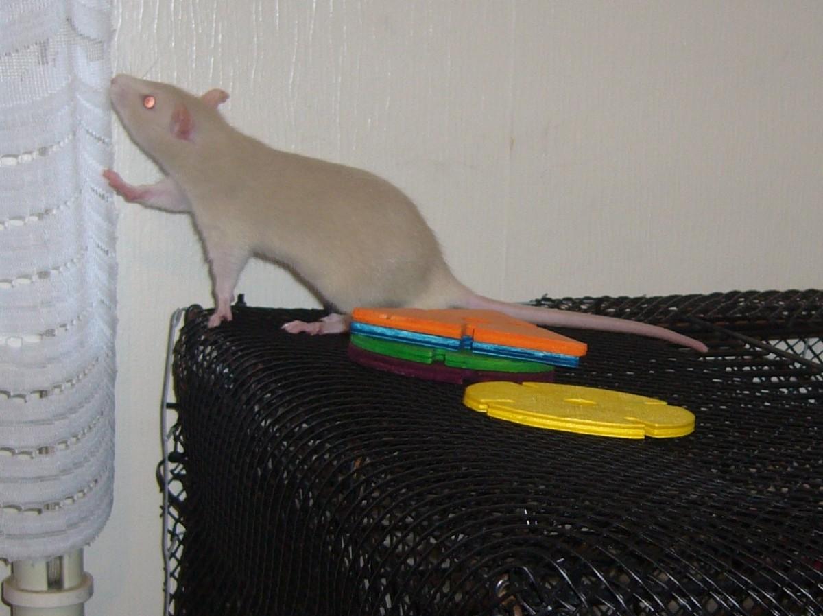 How Do I Make My Pet Rat Like Me?