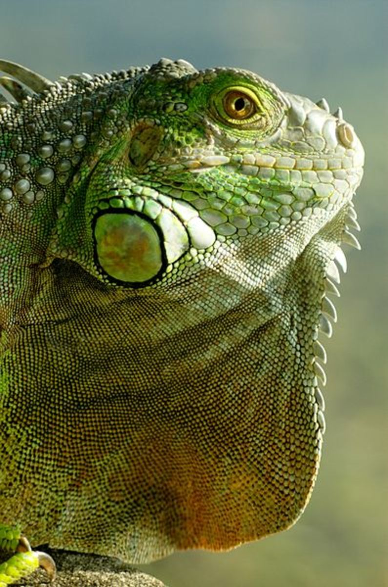 A Green Iguana. One of the most popular rescued reptiles.