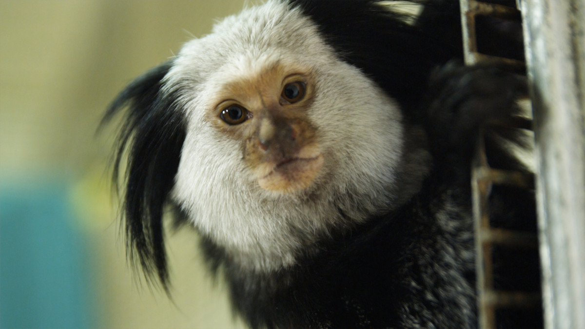 Why Monkeys Do Not Make Good Pets