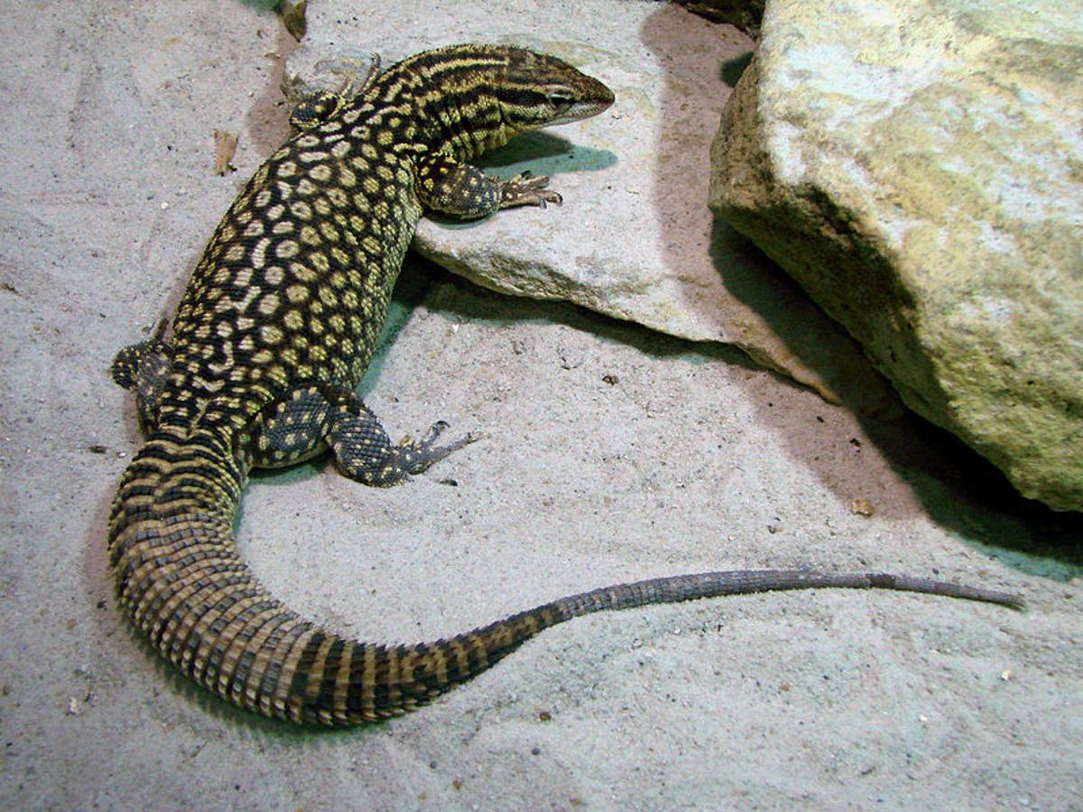 The Best Pet Monitor Species Pethelpful