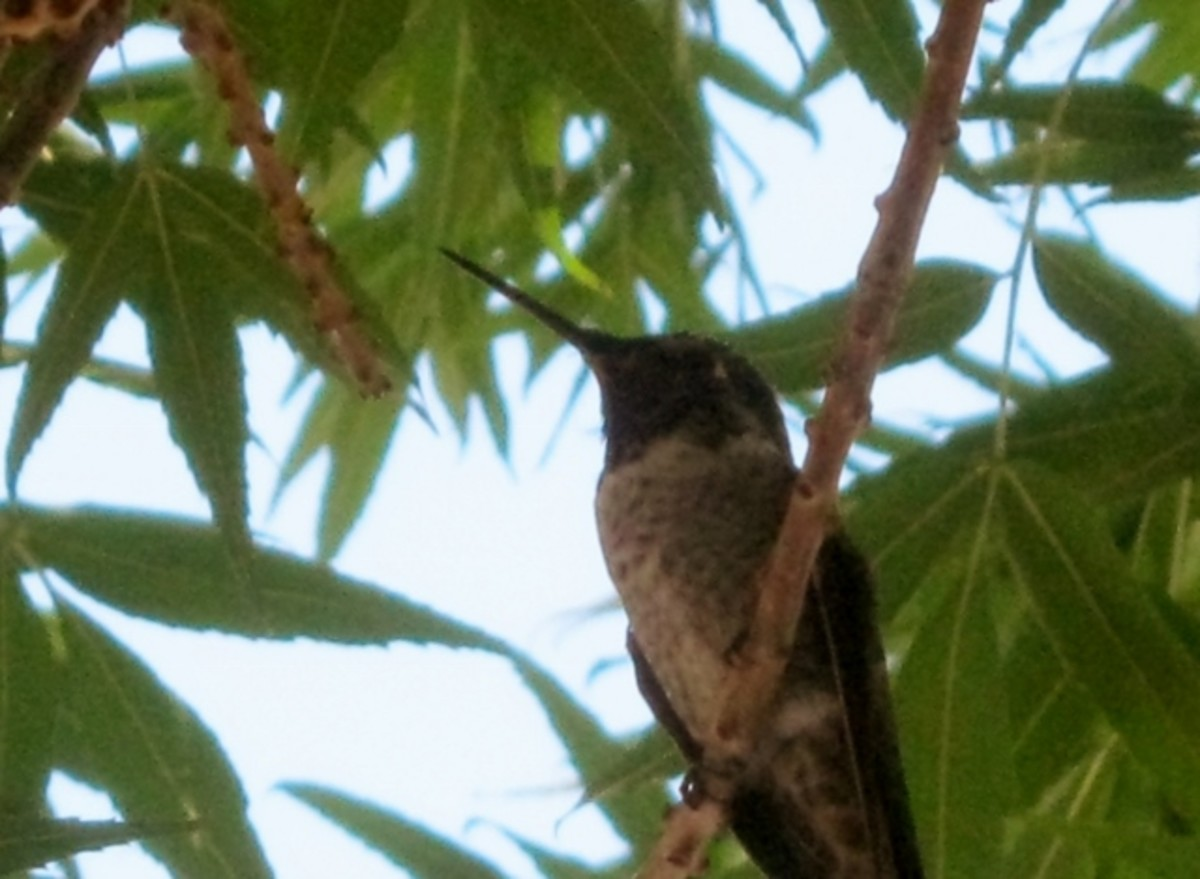A hummingbird in our front yard tree. My husband was surprised this bird sat for as long as he did for pictures!