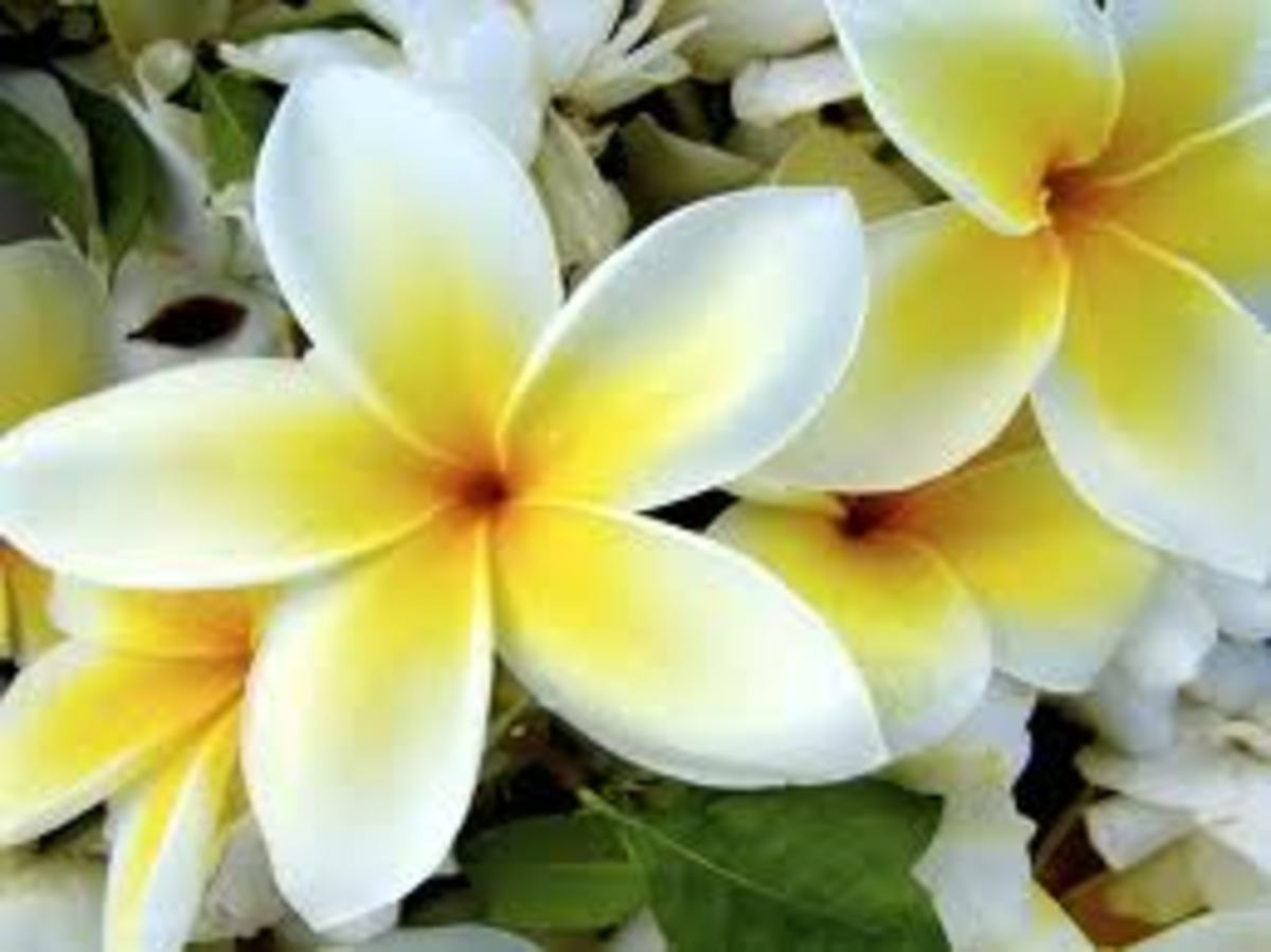 White & Yellow Plumeria