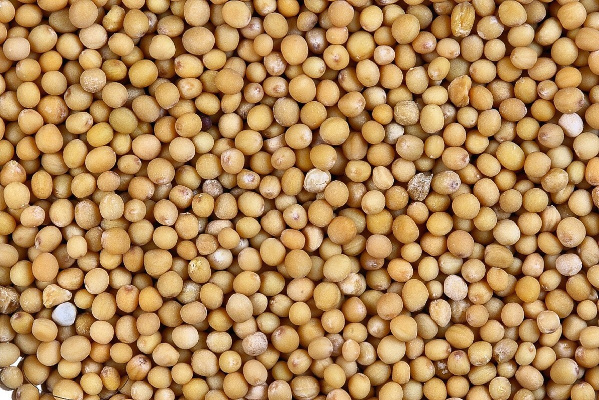 Yellow mustard seeds can be used to make a tasty and healthy condiment.