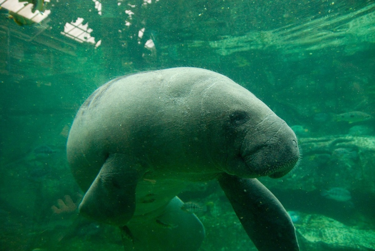 Things to Do in Florida: Homosassa and Manatee Springs, a Manatee and Wildlife Adventure!