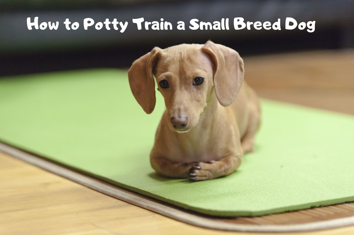 Potty Training Advice for Owners of Small Breed Dogs