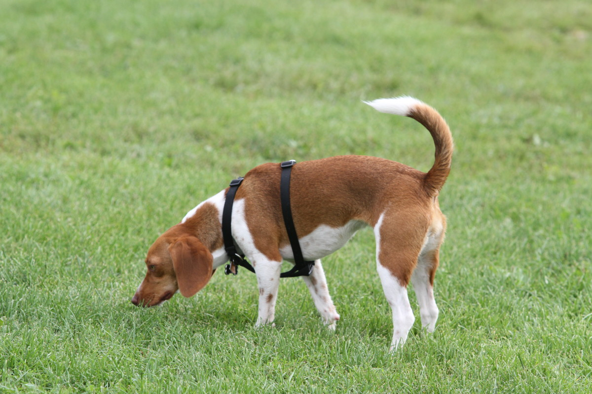 All About Beagles and Their Incredible Sense of Smell