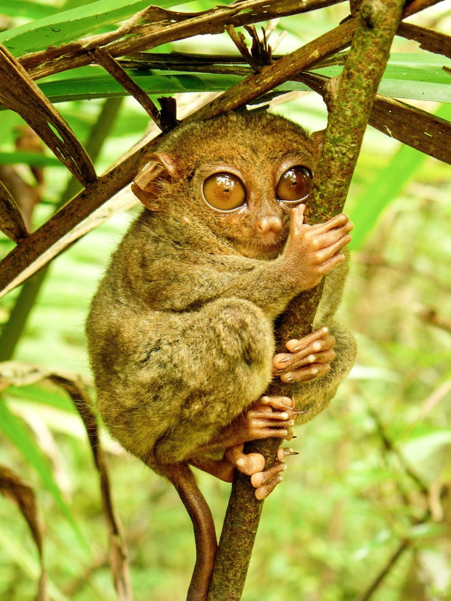 A Philippine tarsier in a sanctuary