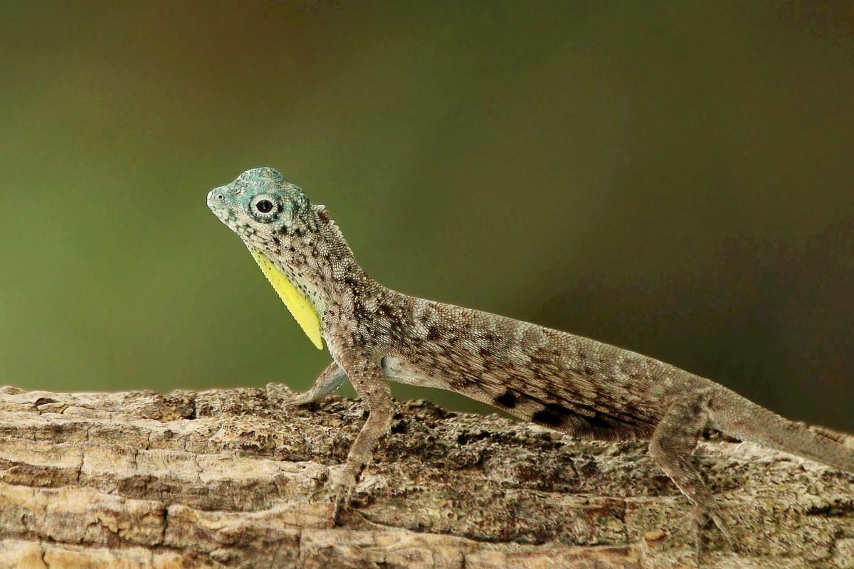 A male Draco lizard